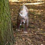 bearpaw-lynx-3